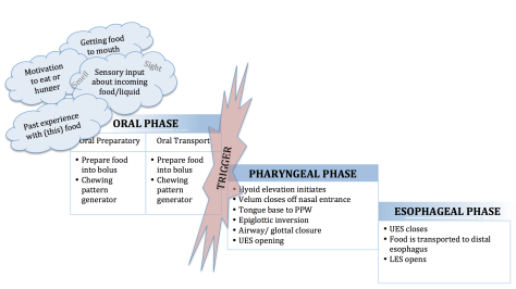 swallow physiology